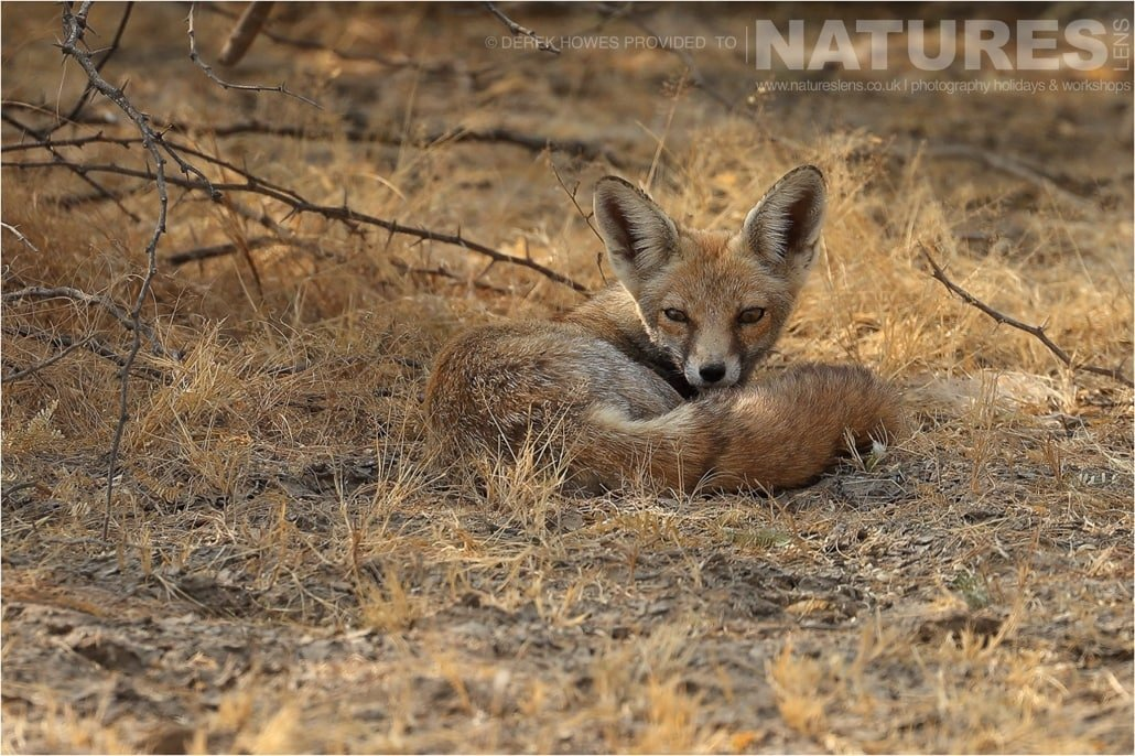 One of the Desert Foxes curled up on the ground an image captured during a Natureslens Little Rann of Kutch Photography Holiday