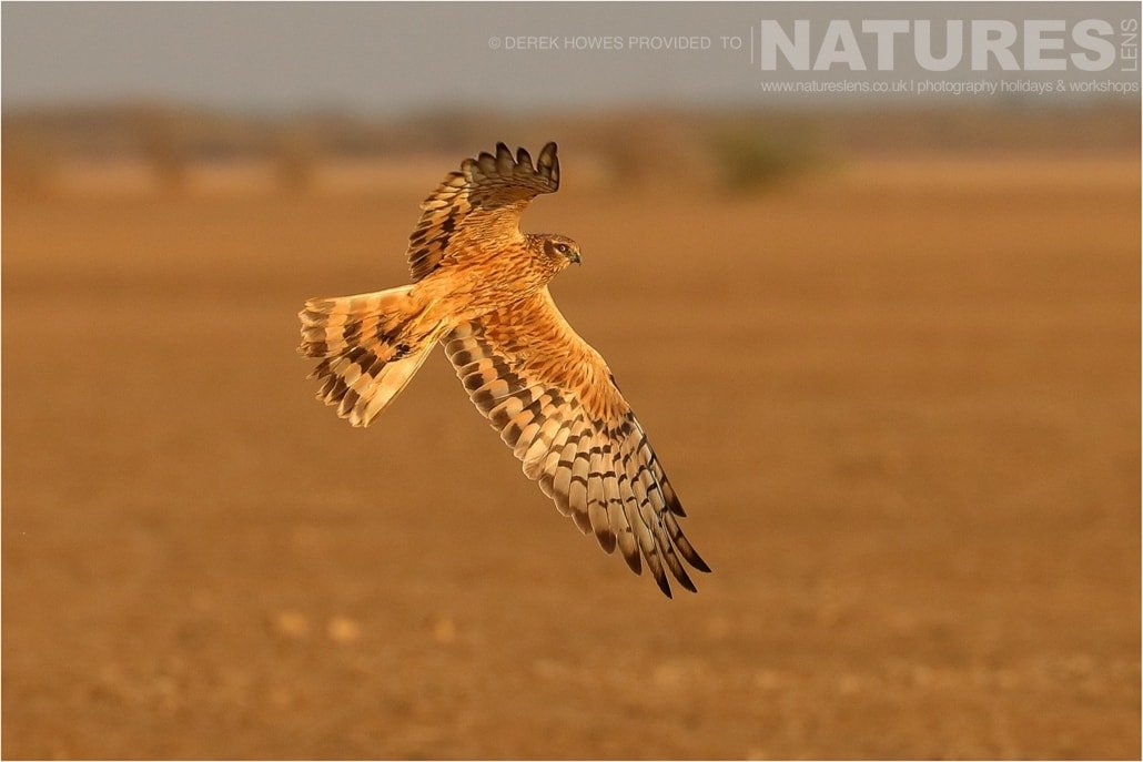 One of the female Montagu's Harrier hunting across the salt flats an image captured during a Natureslens Little Rann of Kutch Photography Holiday