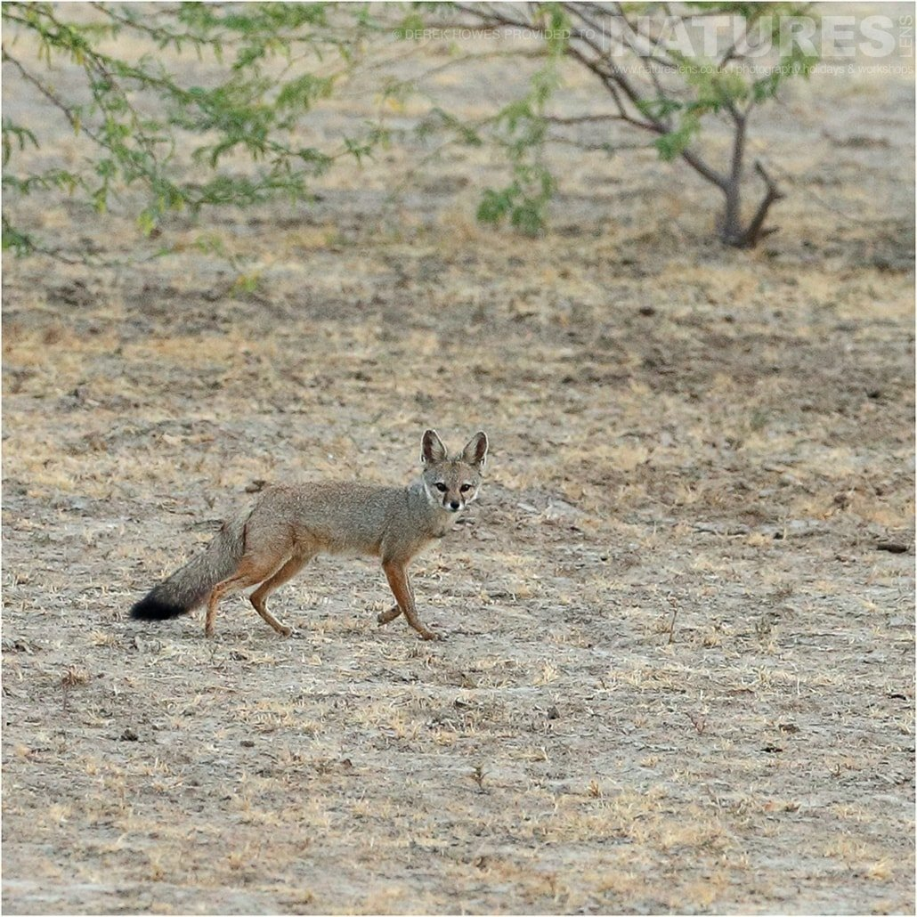 One of the Indian Foxes walking across open grassland an image captured during a Natureslens Little Rann of Kutch Photography Holiday