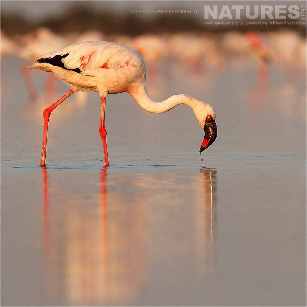 One of the Lesser Flamingos feeding an image captured during a Natureslens Little Rann of Kutch Photography Holiday
