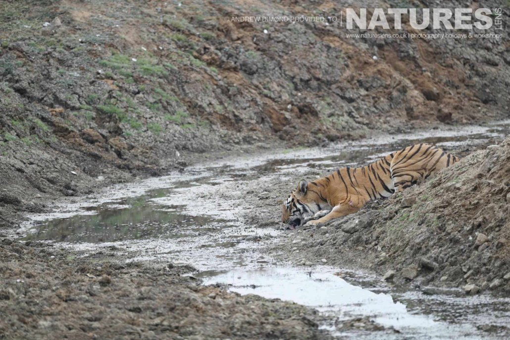 One of the new mother tigers of Tadoba drinks from a river within the buffer zone image captured during a NaturesLens Photography Holiday to photograph the Benhal Tigers of Tadoba