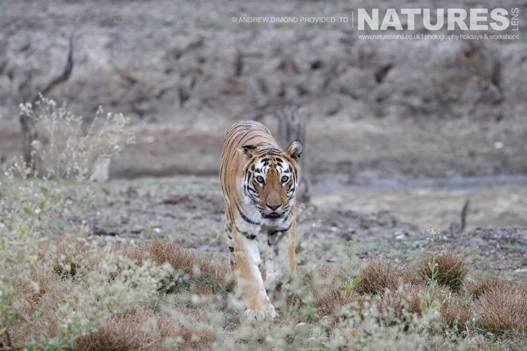 One of the new mother tigers of Tadoba heads back to her quartet of cubs image captured during a NaturesLens Photography Holiday to photograph the Benhal Tigers of Tadoba