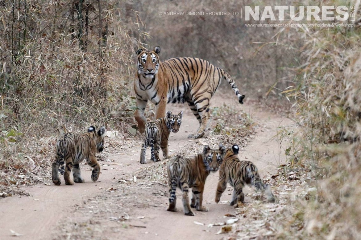 One of the new mother tigers of Tadoba leads her quartet of cubs down one of the jungle racks image captured during a NaturesLens Photography Holiday to photograph the Benhal Tigers of Tadoba