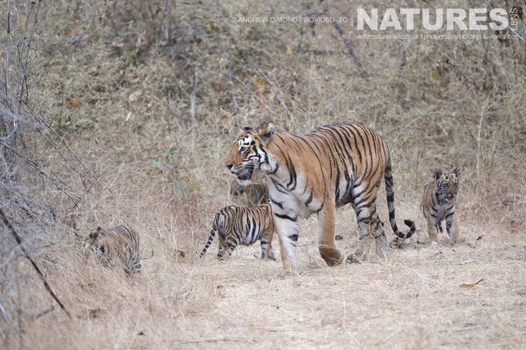 One of the new mother tigers of Tadoba with her quartet of cubs image captured during a NaturesLens Photography Holiday to photograph the Benhal Tigers of Tadoba