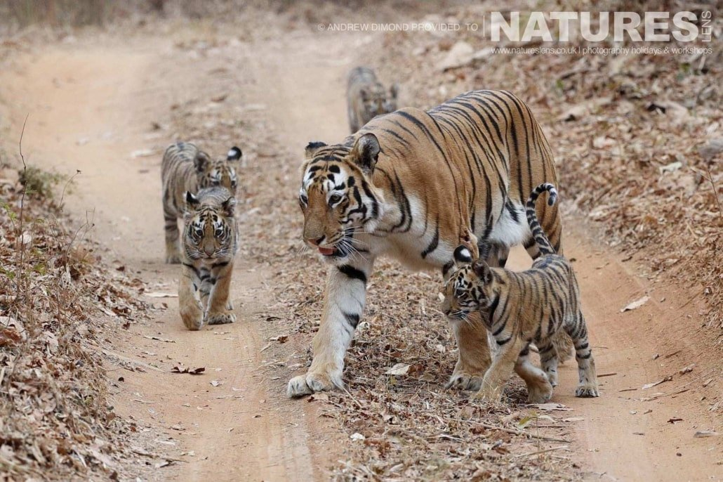 One of the new mother tigers of Tadoba with her quartet of cubs on one of the jungle tracks image captured during a NaturesLens Photography Holiday to photograph the Benhal Tigers of Tadoba