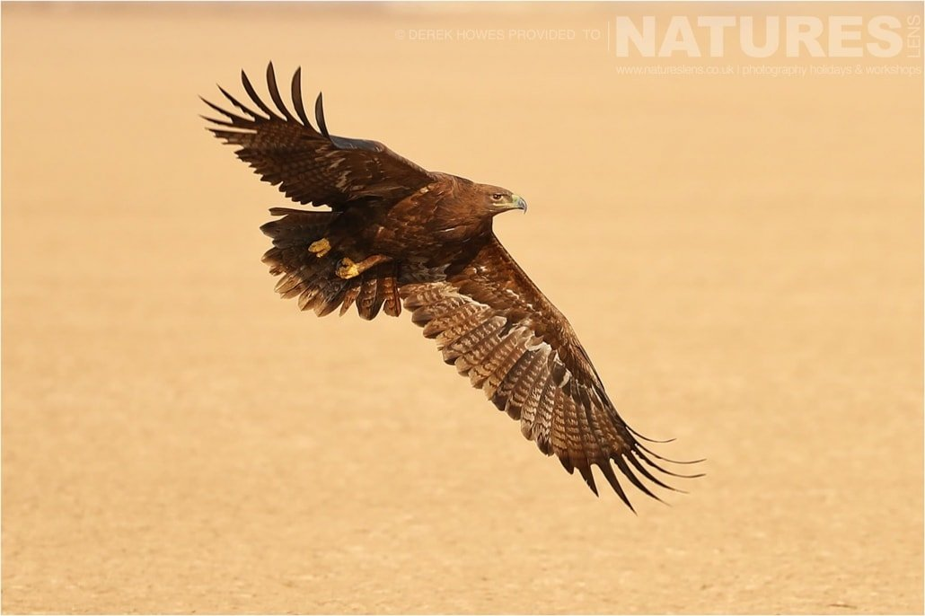 One of the Steppe Eagles flying over the salt flats an image captured during a Natureslens Little Rann of Kutch Photography Holiday