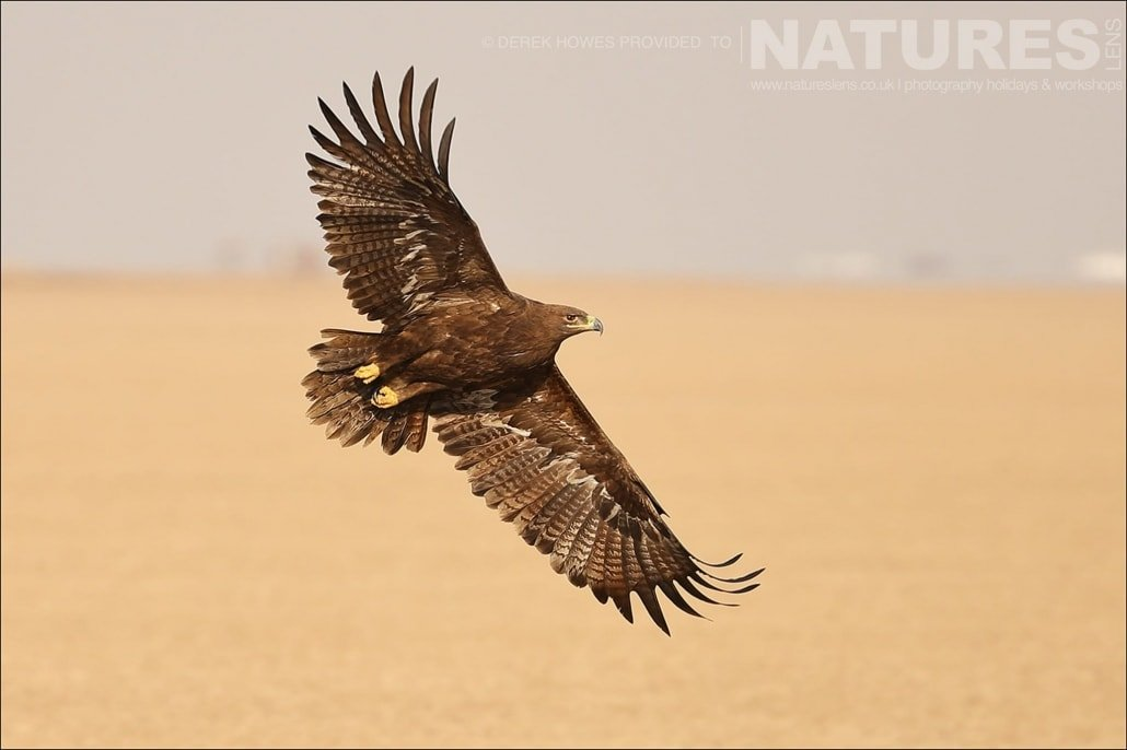 One of the Steppe Eagles with out stretched wings gliding over the barren salt flats an image captured during a Natureslens Little Rann of Kutch Photography Holiday