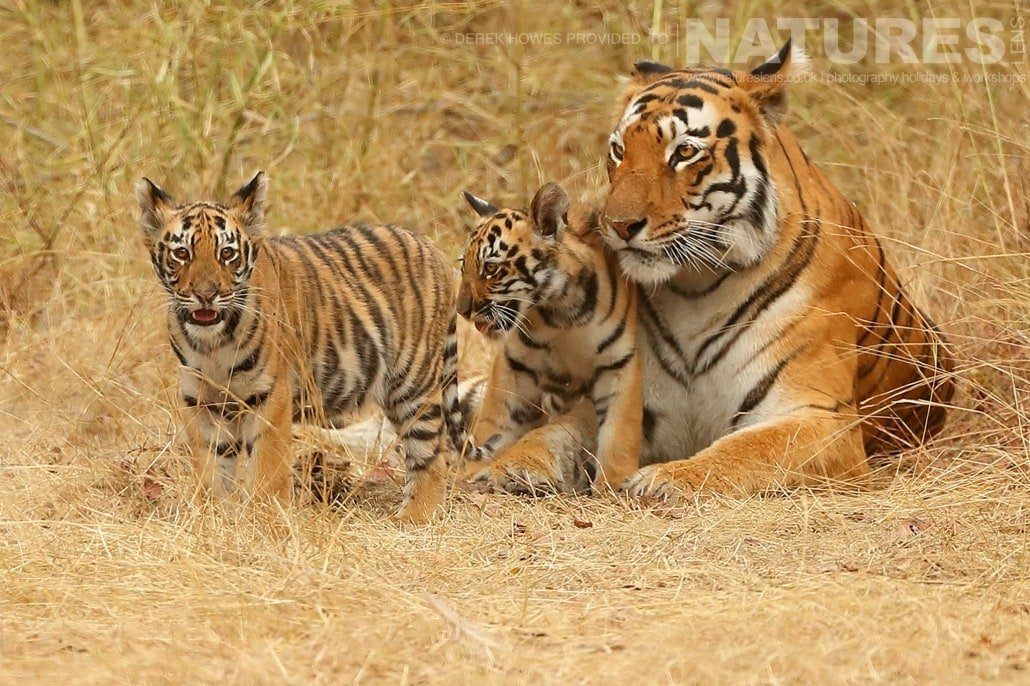 Royal Bengal Tiger with two cubs an image captured during a Natureslens Bengal Tigers of Tadoba Photography Holiday