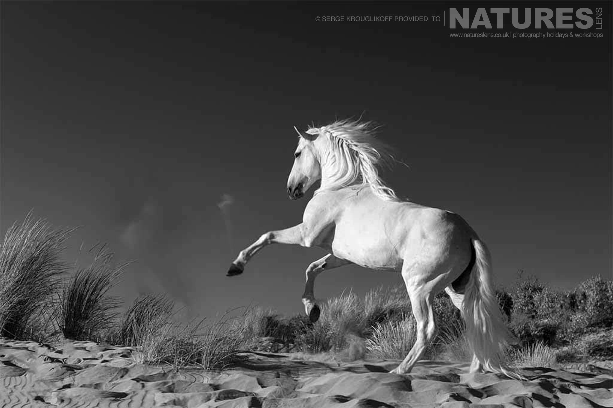 Single white horse running through the marsh typical of the type of image that may be captured during the NaturesLens Wild White Horses of the Camargue Photography Holiday