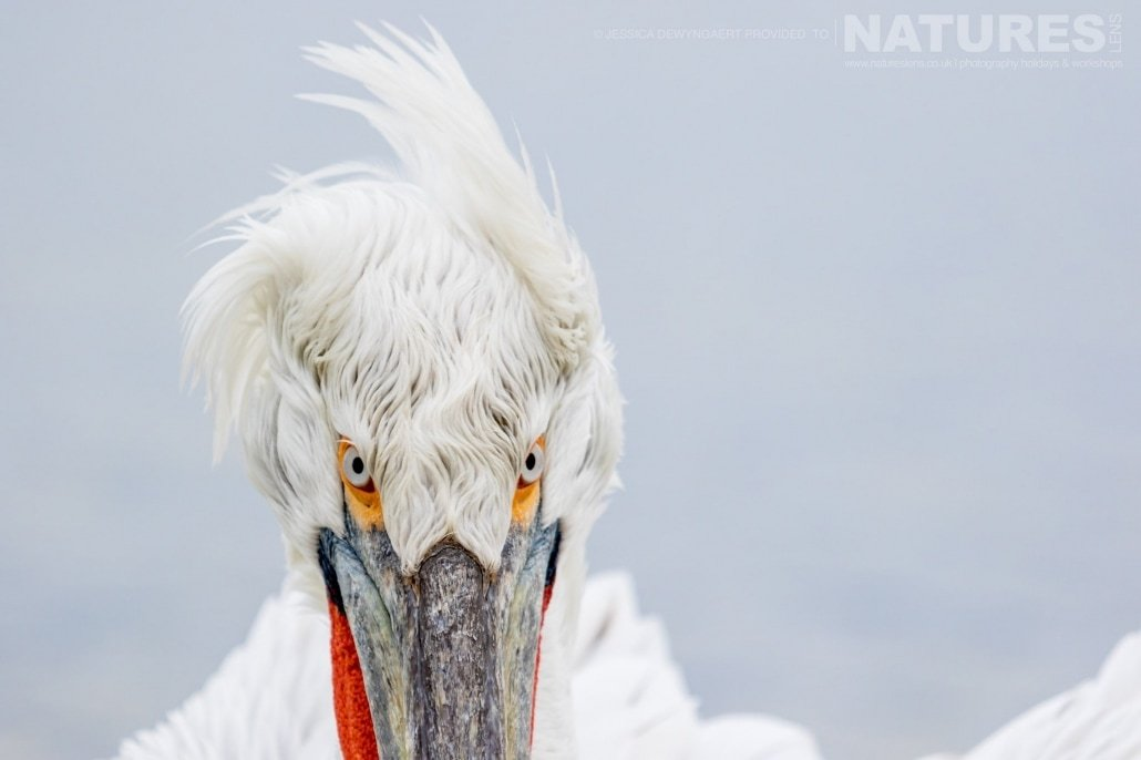 The intense stare of a windswept Dalmatian Pelican an image captured during a Natureslens Dalmatian Pelicans of Greece Photography Holiday
