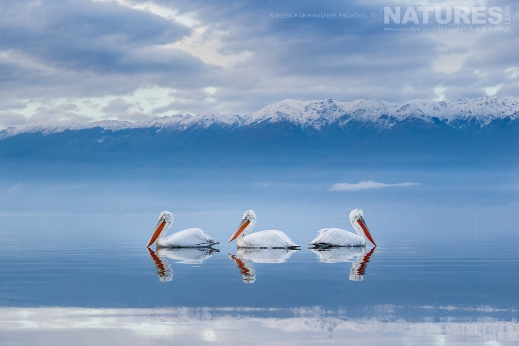 Three Dalmatian Pelicans floating in a line against a snowcapped mountain backdrop an image captured during a Natureslens Dalmatian Pelicans of Greece Photography Holiday