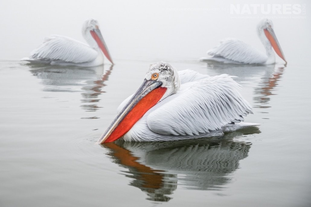 Three Dalmatian Pelicans in full winter plumage floating close together on Lake Kerkini an image captured during a Natureslens Dalmatian Pelicans of Greece Photography Holiday