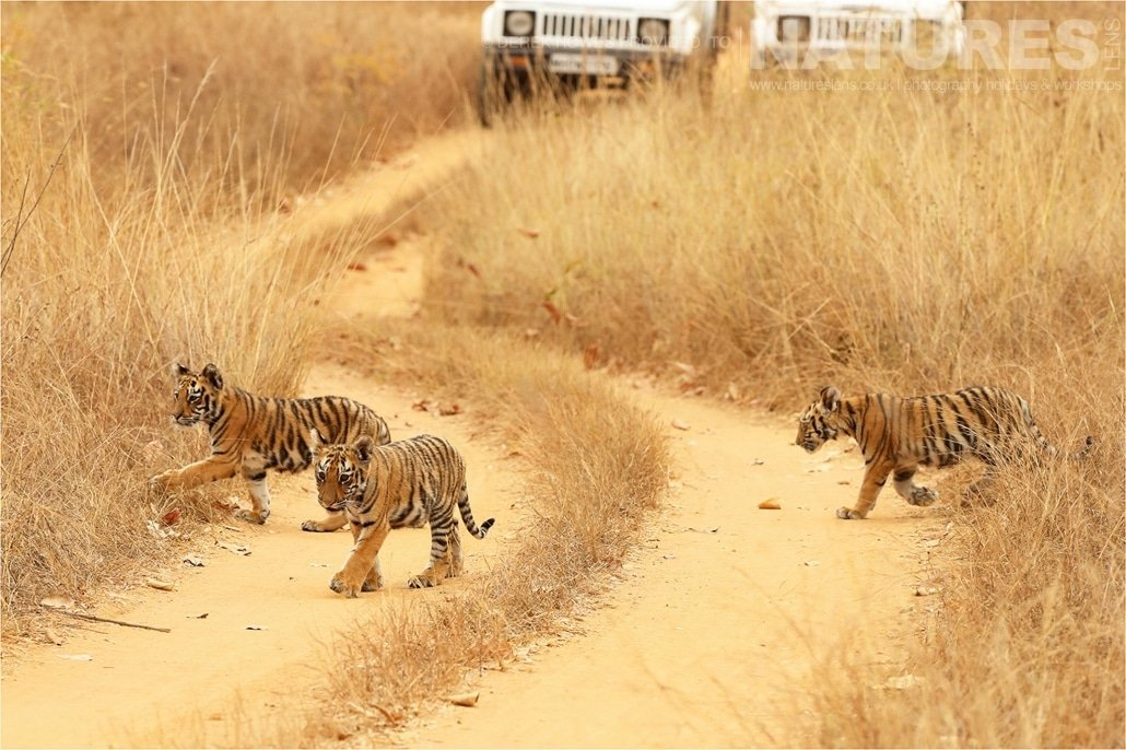 Three indian tiger cubs crossing the road an image captured during a Natureslens Bengal Tigers of Tadoba Photography Holiday