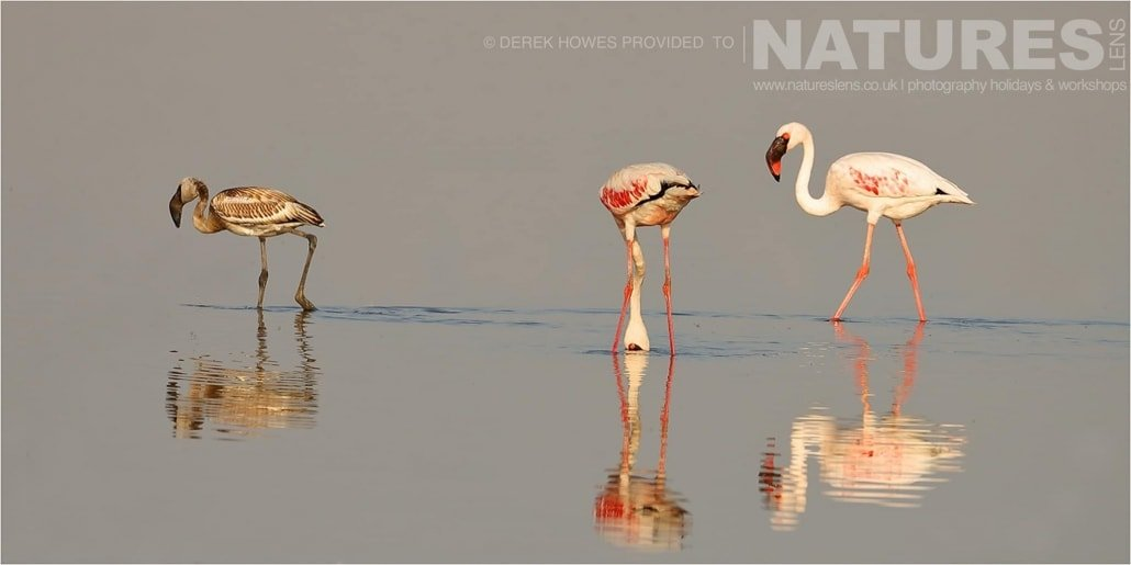 Three Lesser Flamingoes standing in the reflective waters of a lake in the Kutch area an image captured during a Natureslens Little Rann of Kutch Photography Holiday