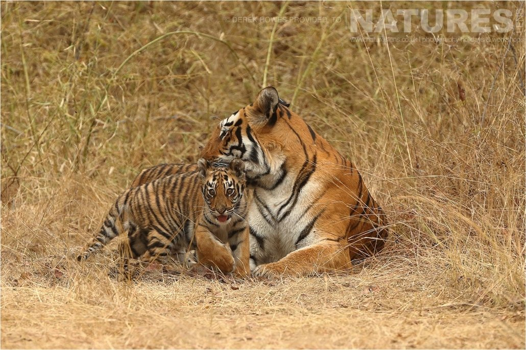 Tiger cub exploring his environment while staying close to his mother an image captured during a Natureslens Bengal Tigers of Tadoba Photography Holiday
