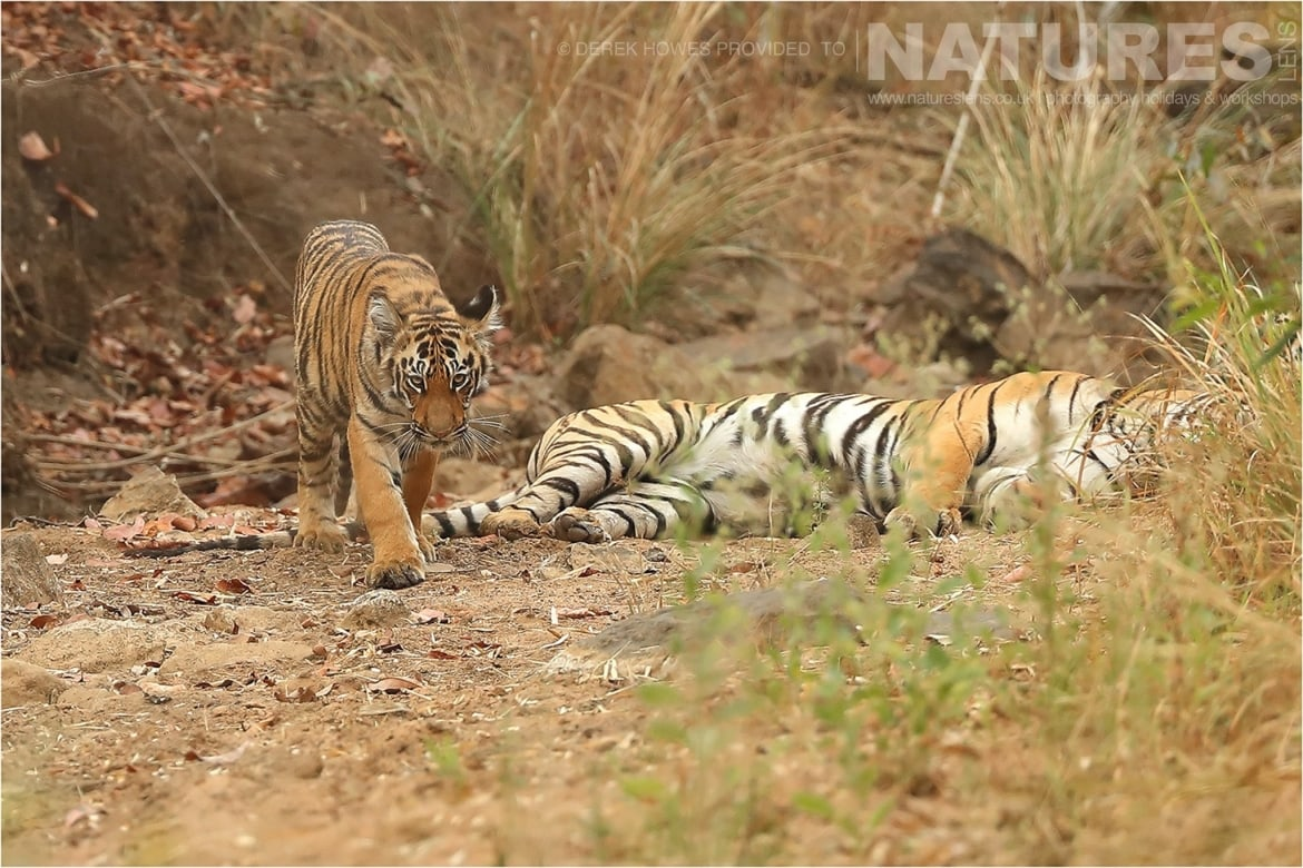 Tiger cub looking fierce as his mother rests an image captured during a Natureslens Bengal Tigers of Tadoba Photography Holiday