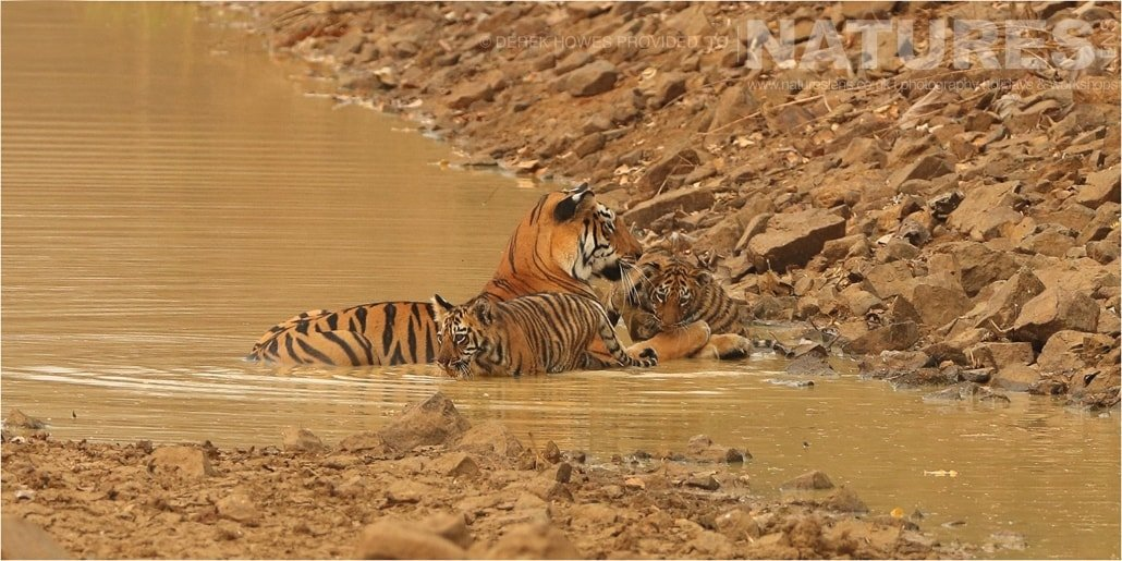 Tiger family cooling off in water an image captured during a Natureslens Bengal Tigers of Tadoba Photography Holiday