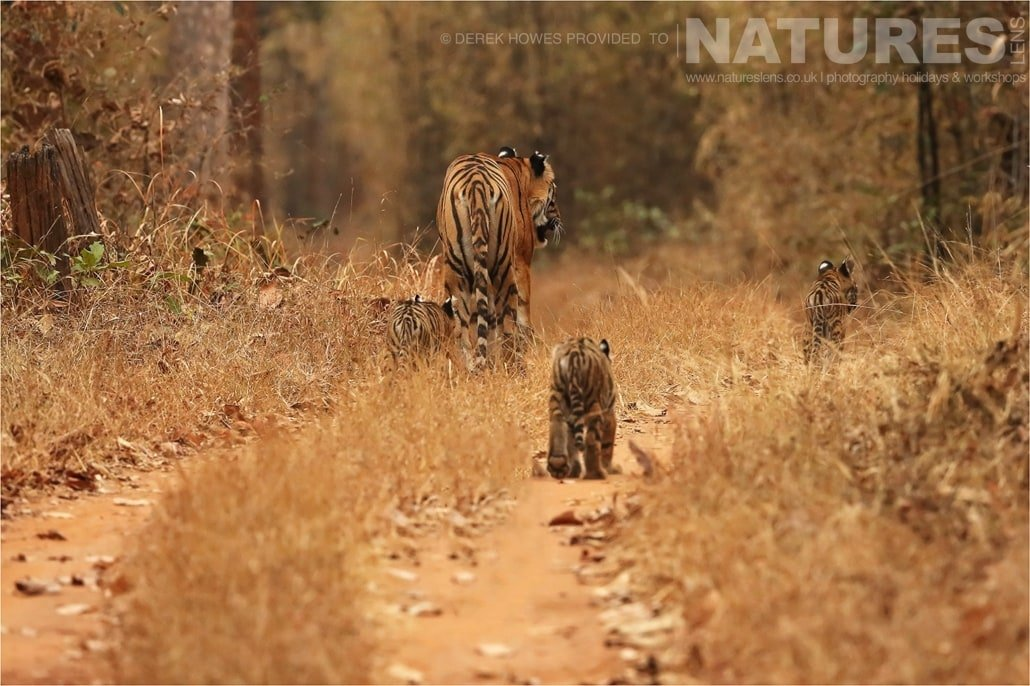 Tigress leading her three cubs down the road an image captured during a Natureslens Bengal Tigers of Tadoba Photography Holiday