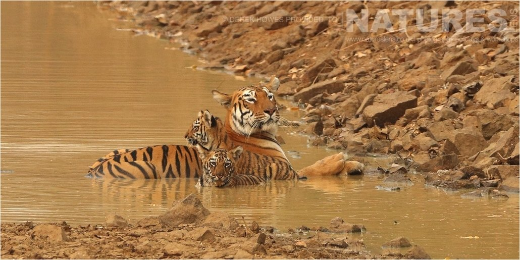 Tigress lounging in water with her two cubs an image captured during a Natureslens Bengal Tigers of Tadoba Photography Holiday