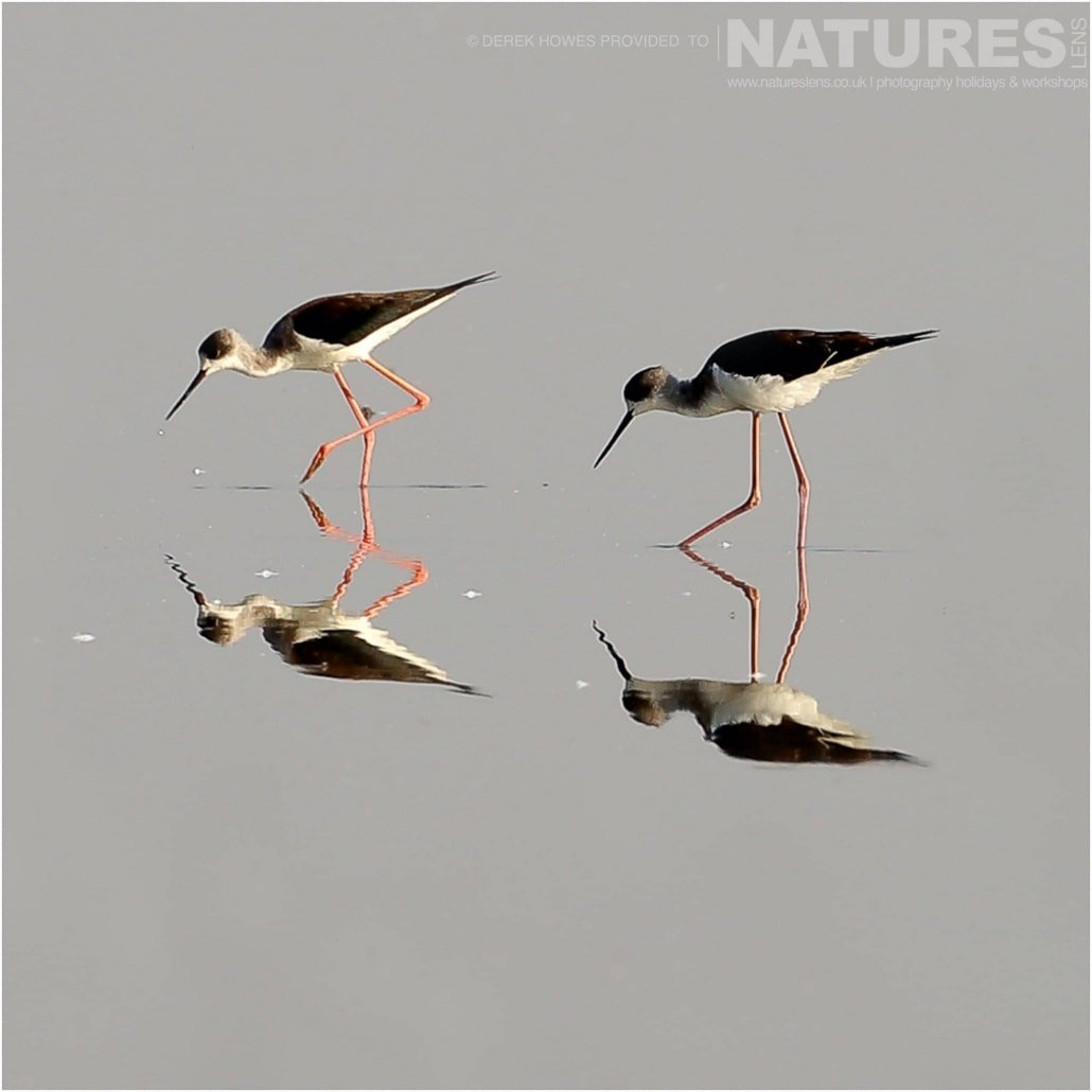 Two Black Winged Stilts wading in the mirror like waters of one of the lakes in the Kutch area an image captured during a Natureslens Little Rann of Kutch Photography Holiday