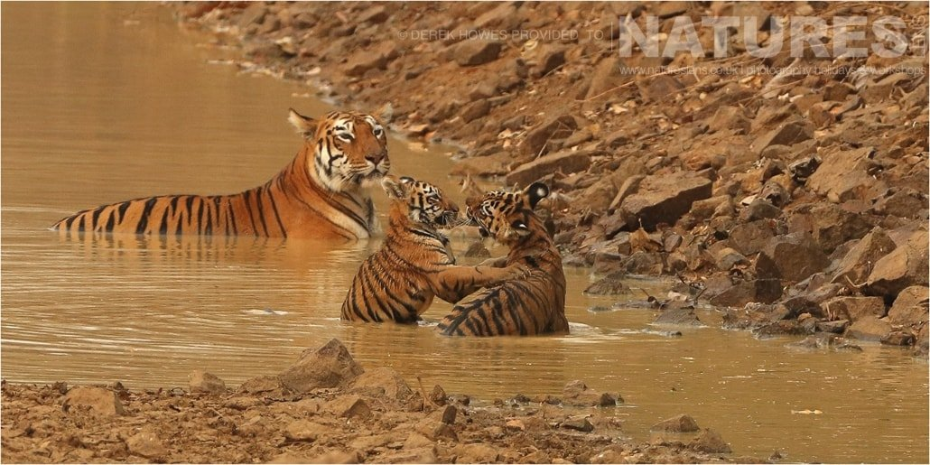 Two tiger cubs playfighting in water as their mother watches an image captured during a Natureslens Bengal Tigers of Tadoba Photography Holiday