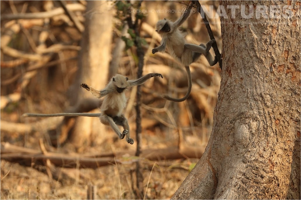 Two young Langurs playing an image captured during a Natureslens Bengal Tigers of Tadoba Photography Holiday