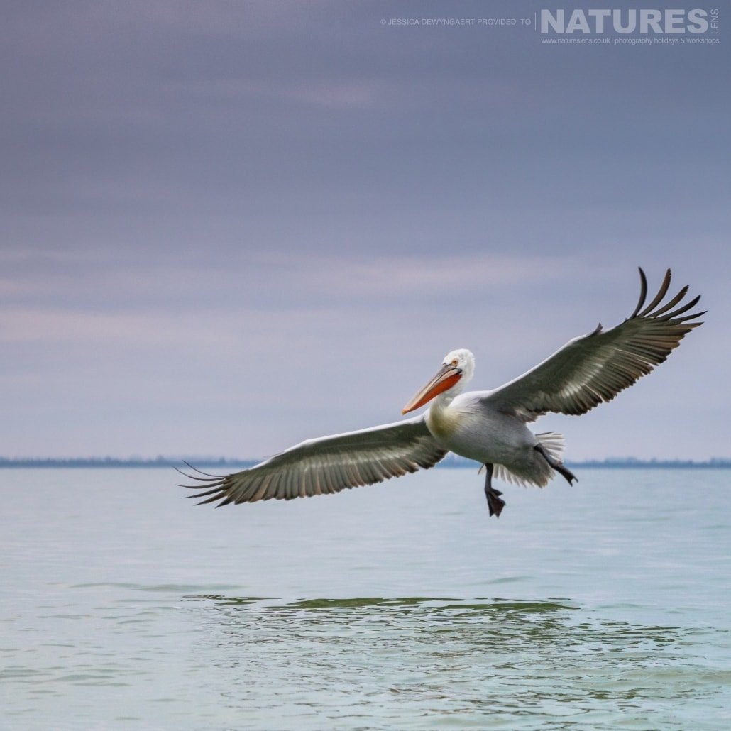 Wings outstretched a Dalmatian Pelican flies over Lake Kerkini an image captured during a Natureslens Dalmatian Pelicans of Greece Photography Holiday
