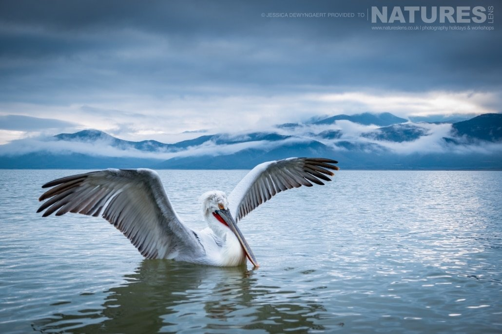 Wings wide open a dalmatian pelican sits on Lake Kerkini against a cloudy mountain backdrop an image captured during a Natureslens Dalmatian Pelicans of Greece Photography Holiday