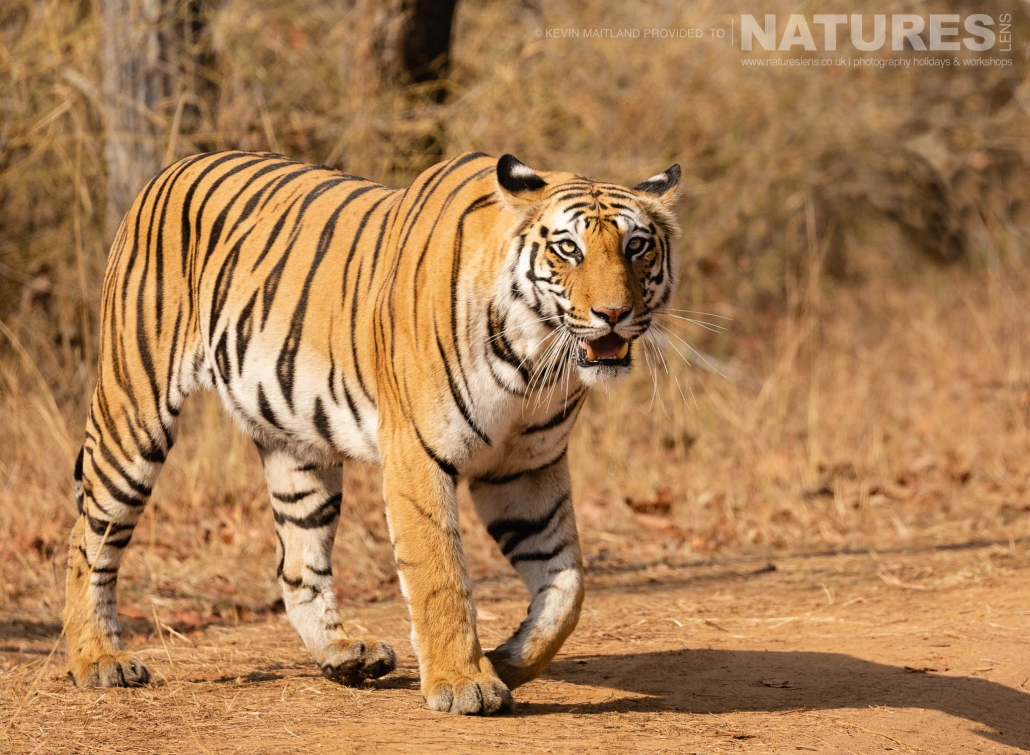 An eye-level image of one of the bengal tigers of Bandhavgarh crossing one of the tracks within the tourist zones - image captured during the NaturesLens TIgers of Bandhavgarh Photography Holiday in April 2018
