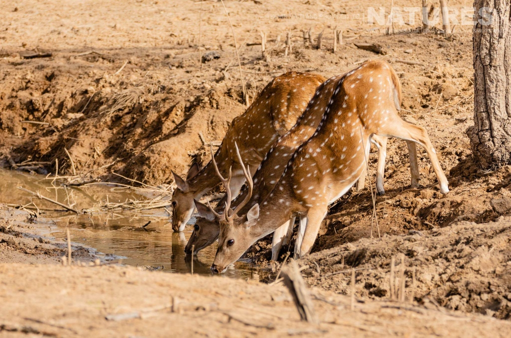 Bandhavgarh is home to a wide variety of wildlife, here, a trio of spotted deer drink from onoe of the waterng holes - image captured during the NaturesLens TIgers of Bandhavgarh Photography Holiday in April 2018