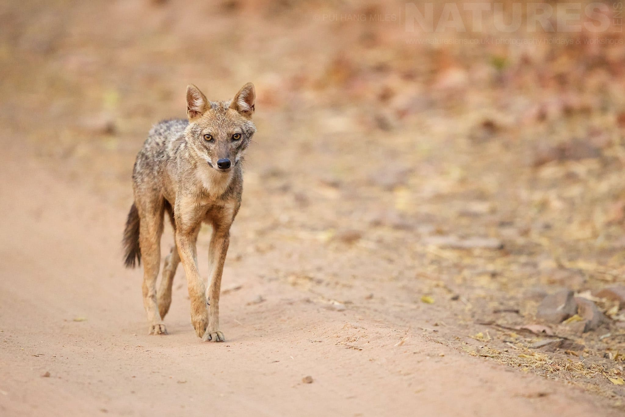 Jackal On The Road   Photographed During The NaturesLens Tigers Of Bandhavgarh Photography Holiday