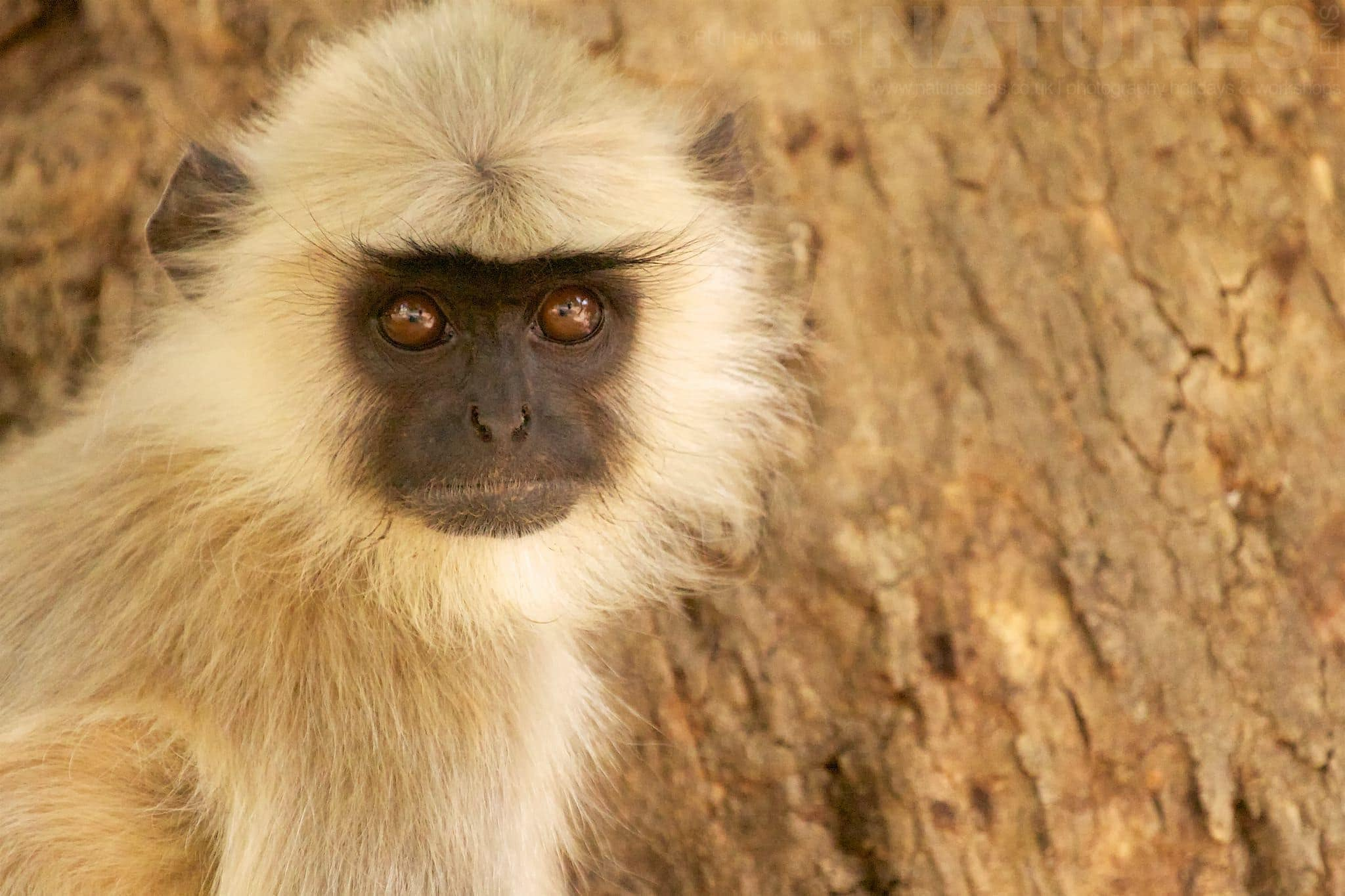 Langur Monkey   Photographed During The Tigers Of Bandhavgarh Photography Tour Led By NaturesLens