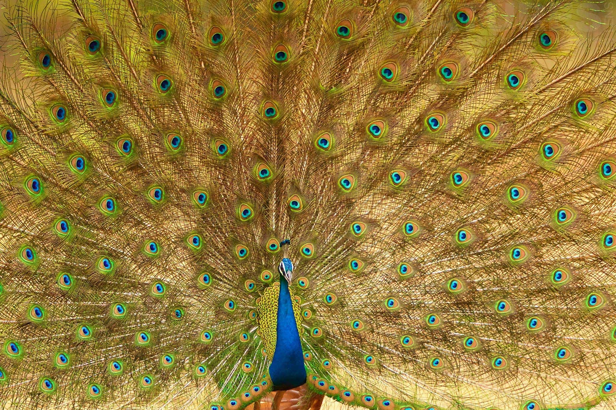Peacock Displaying As Captured During The NaturesLens Tigers Of Bandhavgarh Photography Holiday
