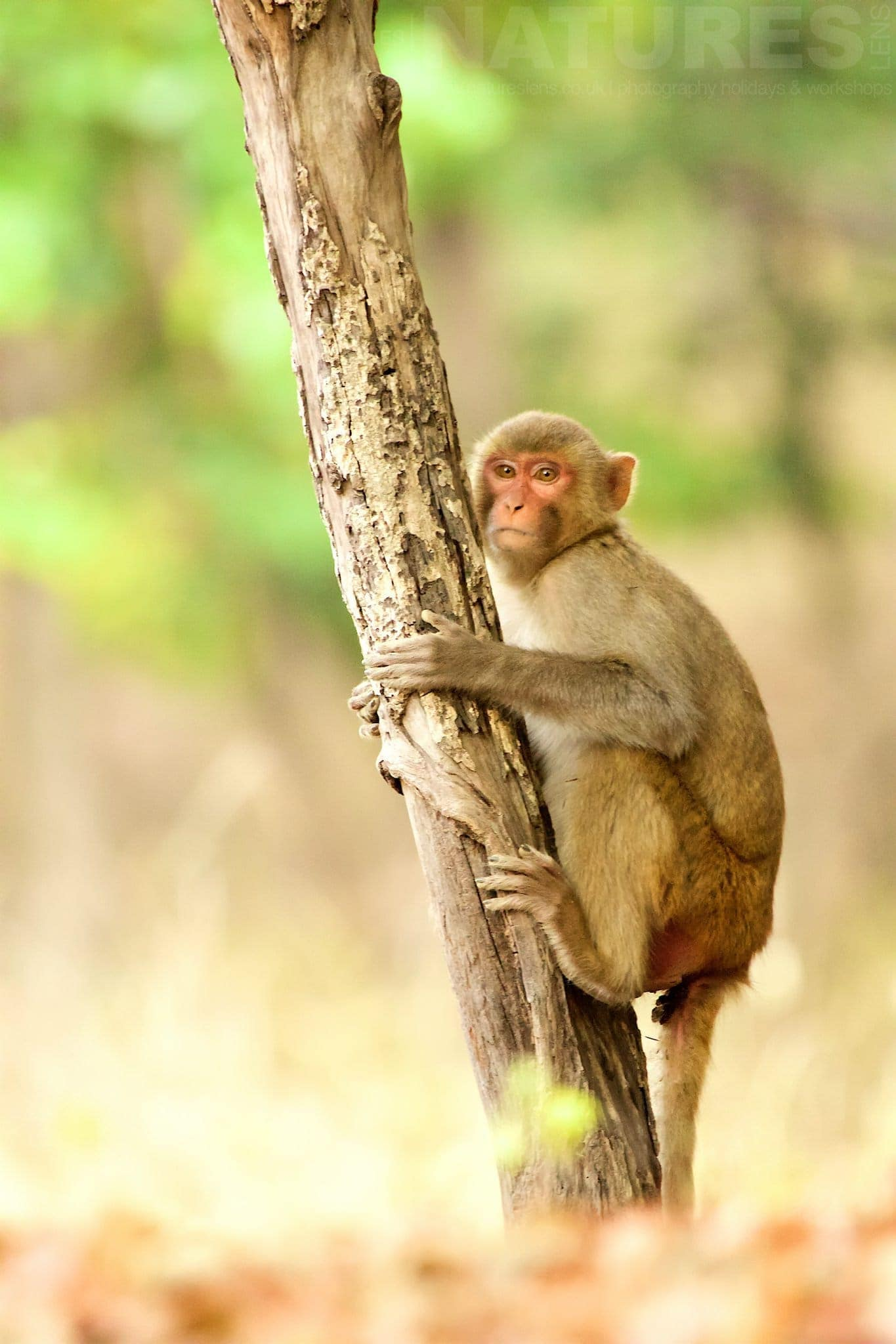 Rhesus Macaque Hugging A Tree As Photographed During The NaturesLens Tigers Of Bandhavgarh Photography Holiday