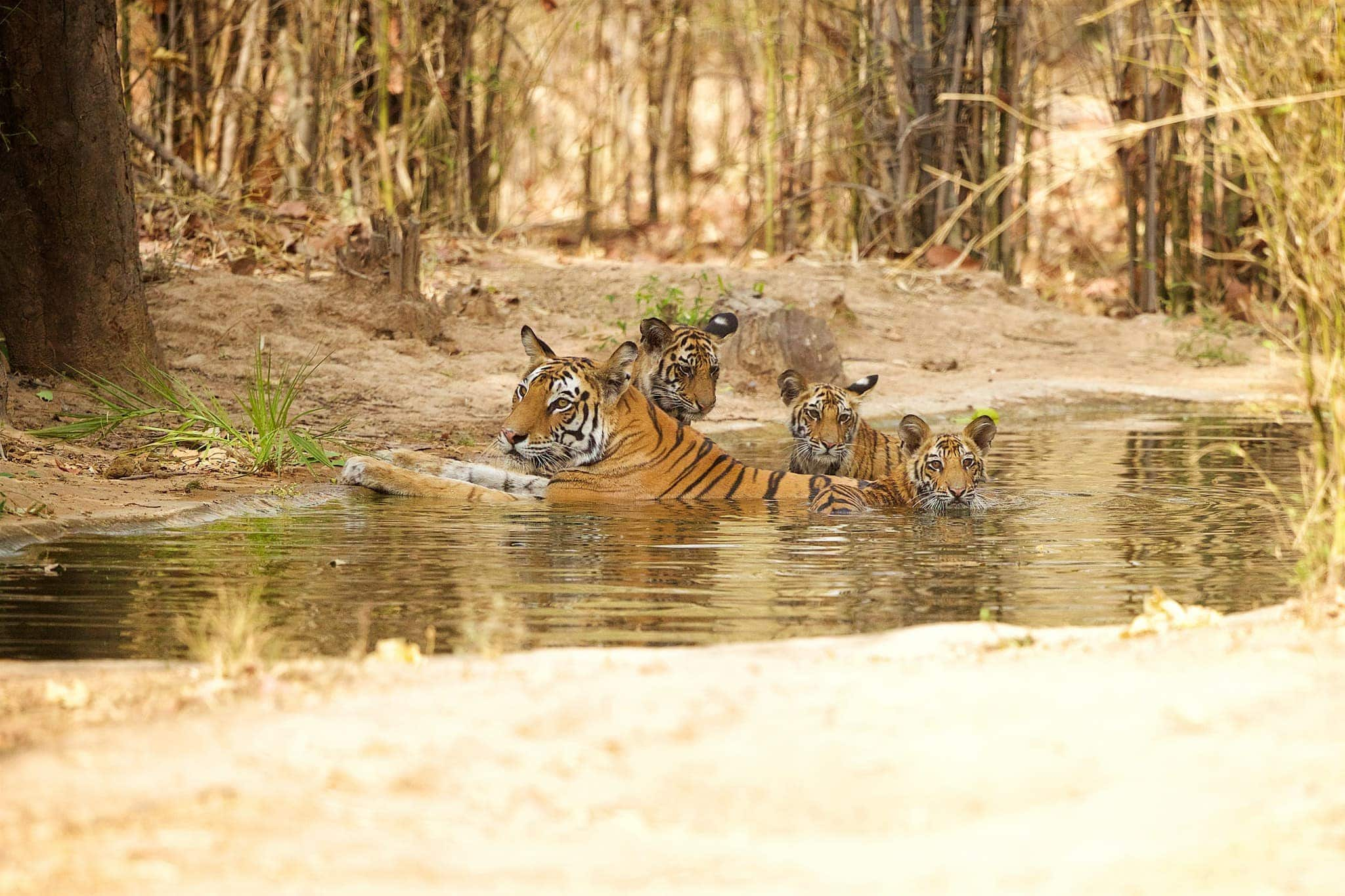 Tiger Family As Photographed During The NaturesLens Tigers Of Bandhavgarh Photography Holiday