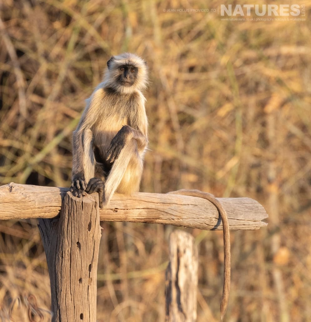 A langur monkey poses on a fence image captured during the NaturesLens TIgers of Bandhavgarh Photography Holiday in April 2018
