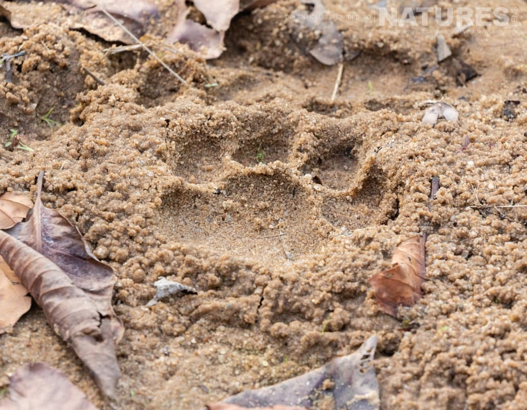 A pugmark left overnight by one of the tigers of Bandhavgahr image captured during the NaturesLens TIgers of Bandhavgarh Photography Holiday in April 2018