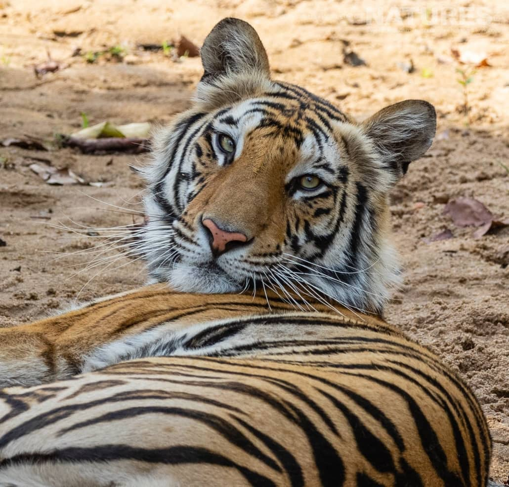 Looking back, one of the younger tigers, totally unconcerned by the attention he is recieving image captured during the NaturesLens TIgers of Bandhavgarh Photography Holiday in April 2018