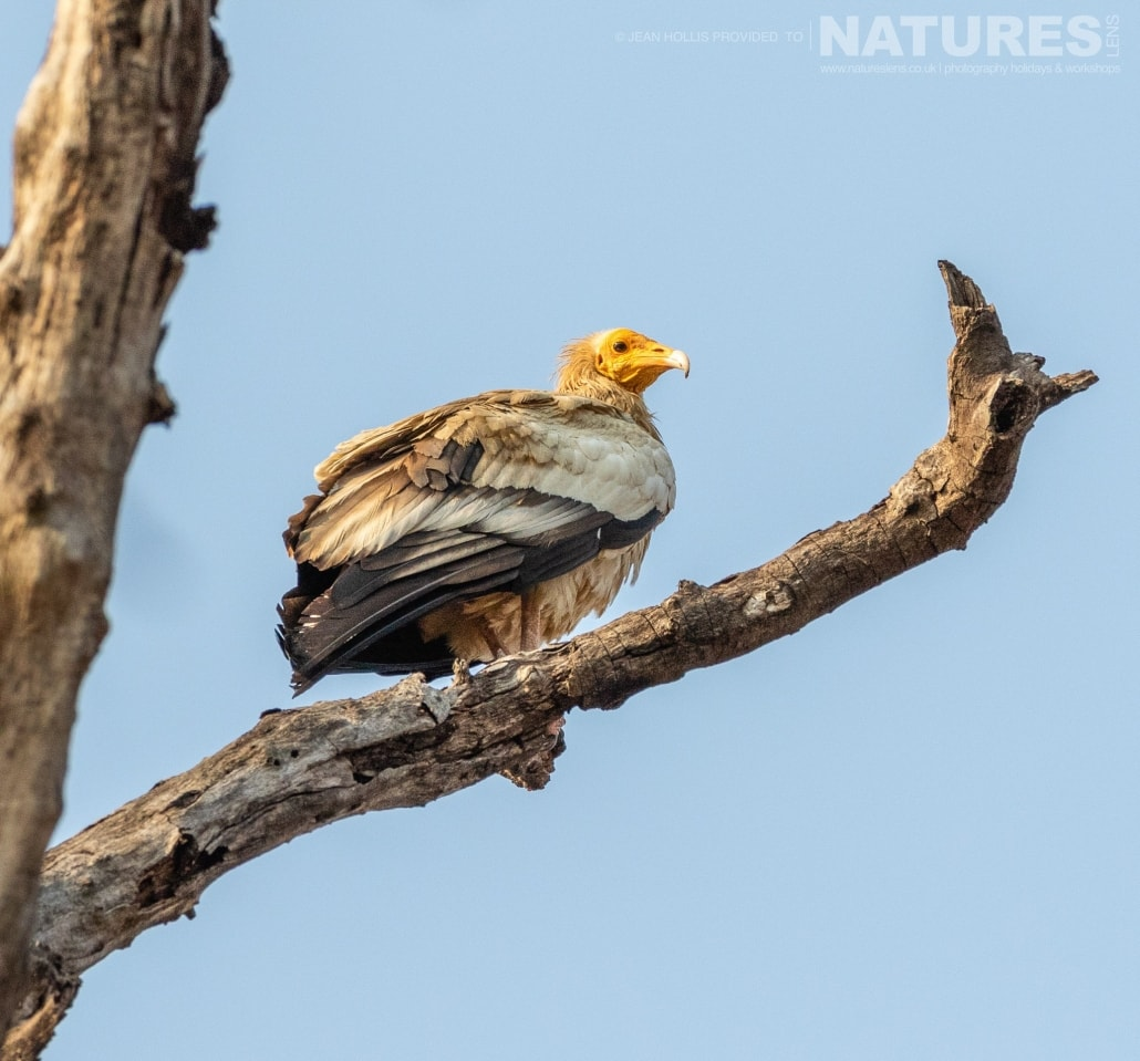 More often spotted at vulture point, several of the vultures had moved down into trees within the reserve image captured during the NaturesLens TIgers of Bandhavgarh Photography Holiday in April 2018