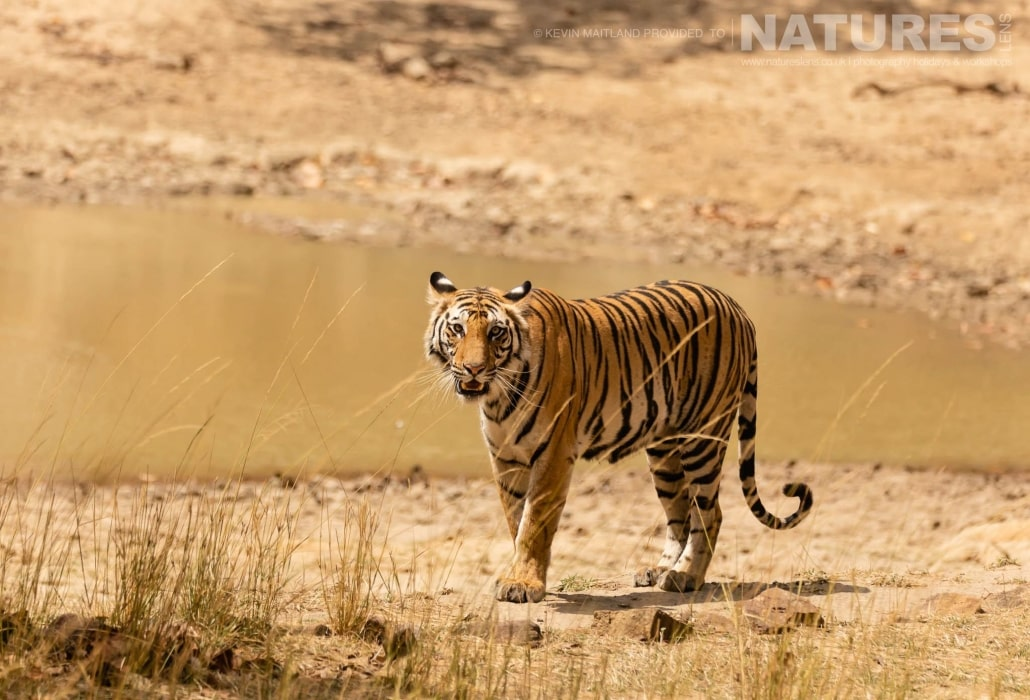 One of the female tigers of Bandhavgarh, alongside one of the watering holes image captured during the NaturesLens TIgers of Bandhavgarh Photography Holiday in April 2018