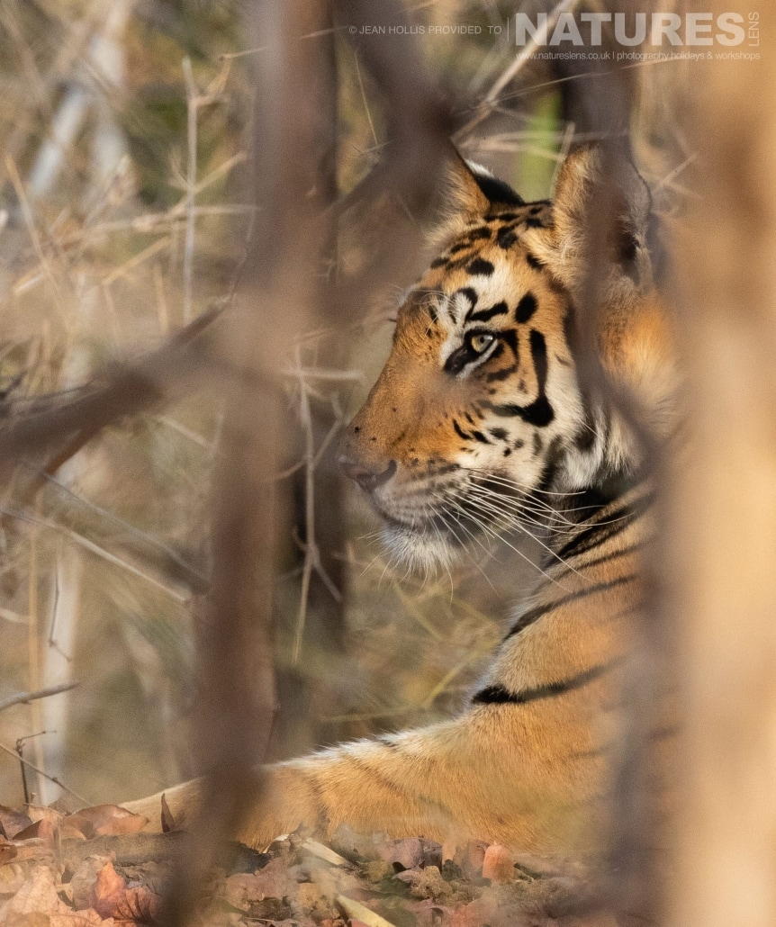 One of the juvenile bengal tigers of Tala Zone image captured during the NaturesLens TIgers of Bandhavgarh Photography Holiday in April 2018