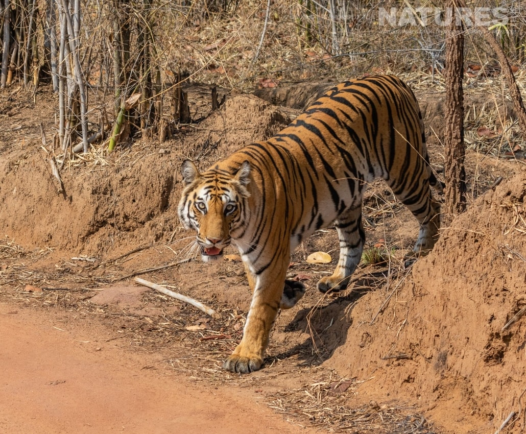 One of the bengal tigers of Bandhavgarh crosses one of the tracks within the tourist zones image captured during the NaturesLens Tigers of Bandhavgarh Photography Holiday in April 2018