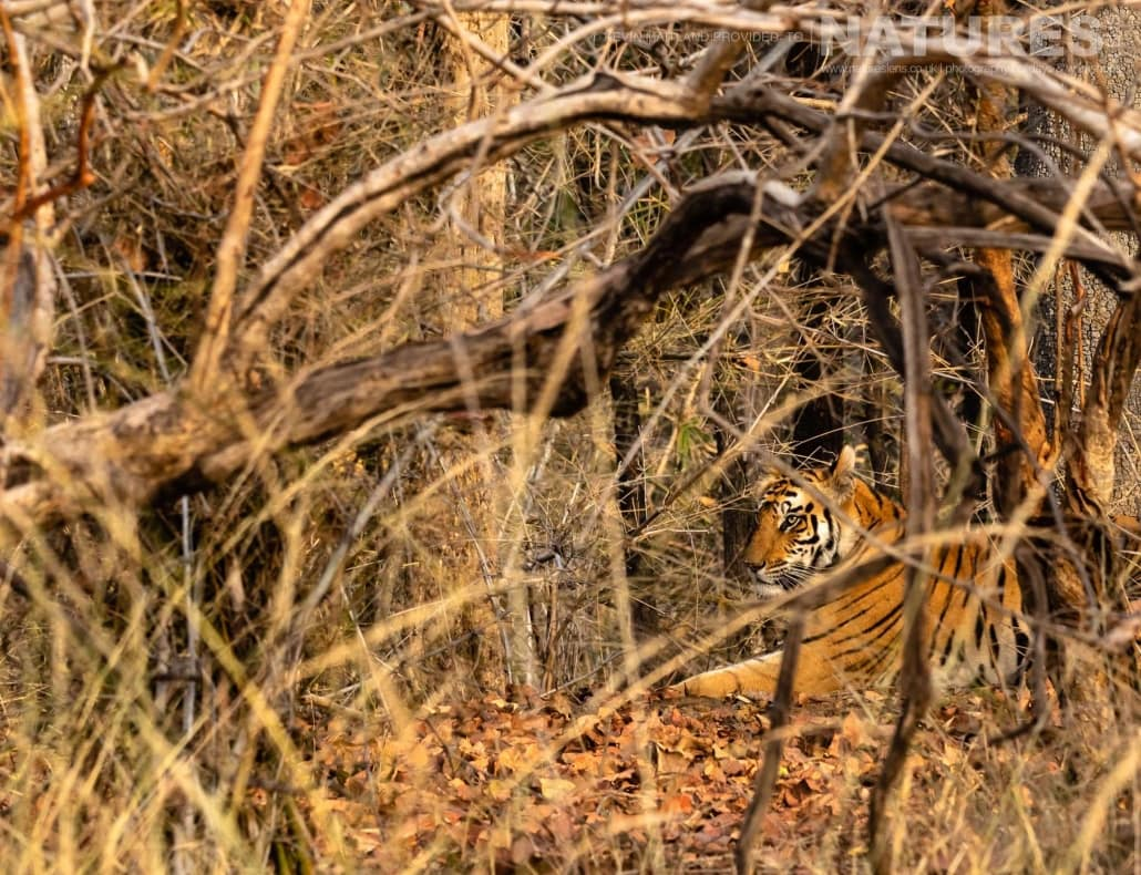 One of the tigers of Tala Zone, hidden deep within the undergrowth image captured during the NaturesLens TIgers of Bandhavgarh Photography Holiday in April 2018
