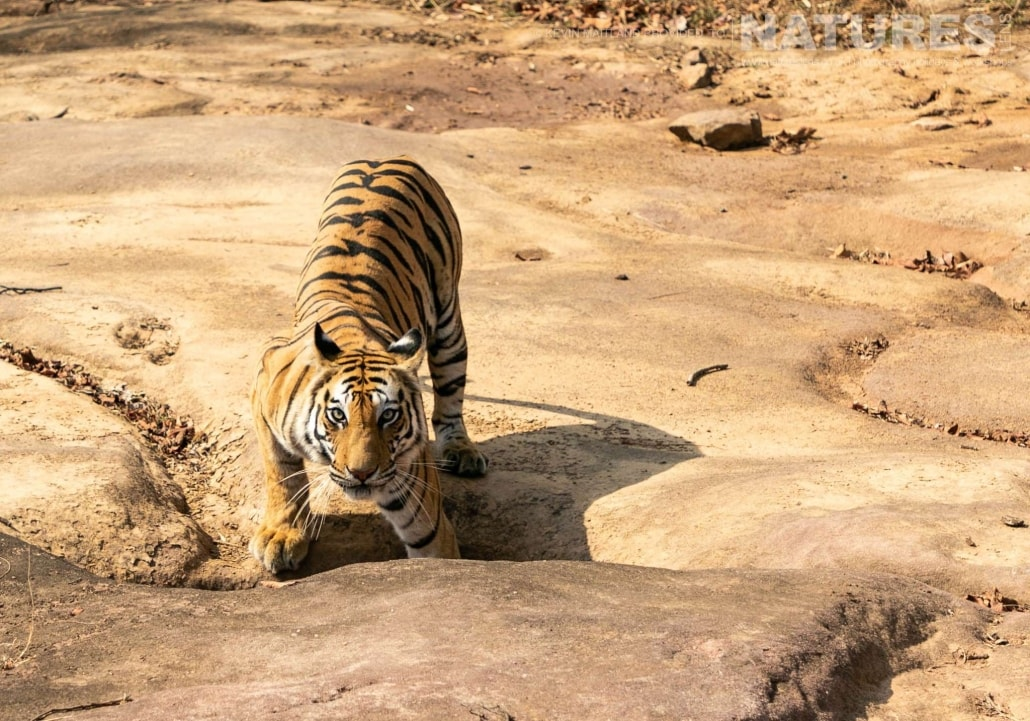 One of the tigers of Tala Zone image captured during the NaturesLens TIgers of Bandhavgarh Photography Holiday in April 2018