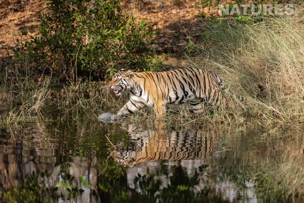 The money shot, one of the young tigers of Tala zone strides through one of the watering holes image captured during the NaturesLens TIgers of Bandhavgarh Photography Holiday in April 2018