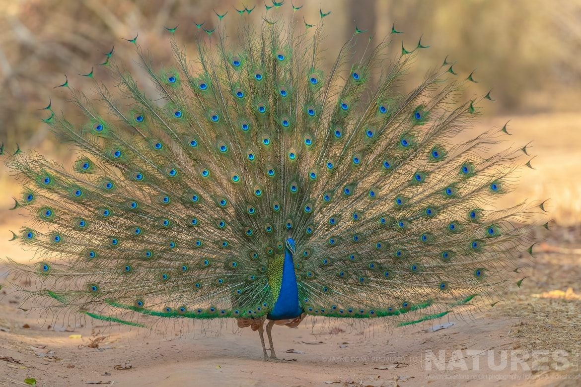 One of Bandhavgarhs peacocks displaying its impressive tail photographed during the NaturesLens India's Bengal Tigers of Bandhavgarh Photography Holiday