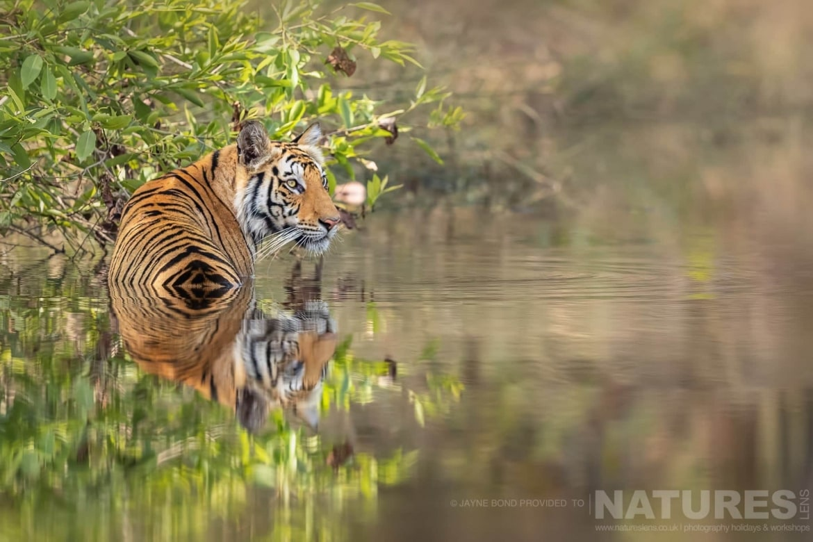 One of Bandhavgarhs tigers cooling off in one of the small lakes within the reserve photographed during the NaturesLens India's Bengal Tigers of Bandhavgarh Photography Holiday
