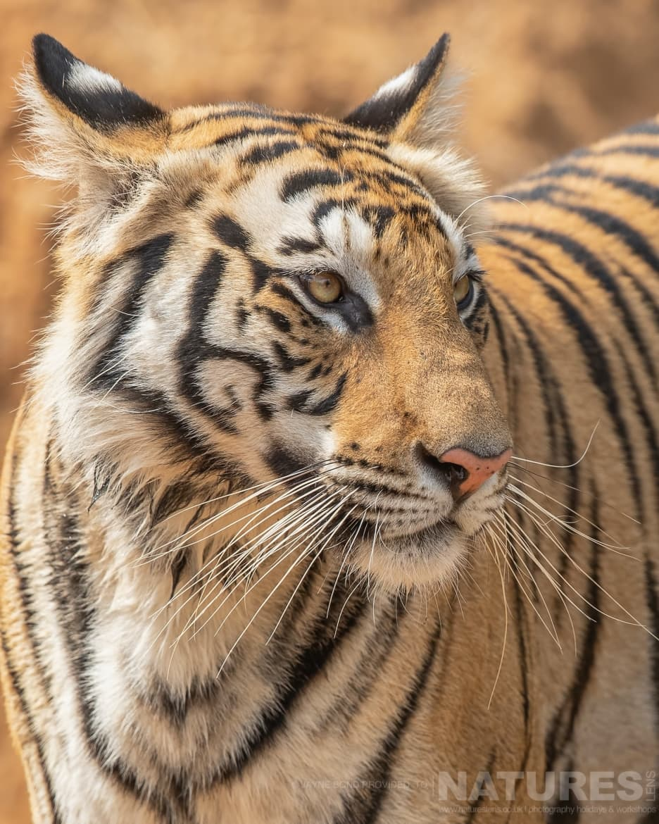 One of Bandhavgarhs tigers cools alert to all noises within the forest photographed during the NaturesLens India's Bengal Tigers of Bandhavgarh Photography Holiday