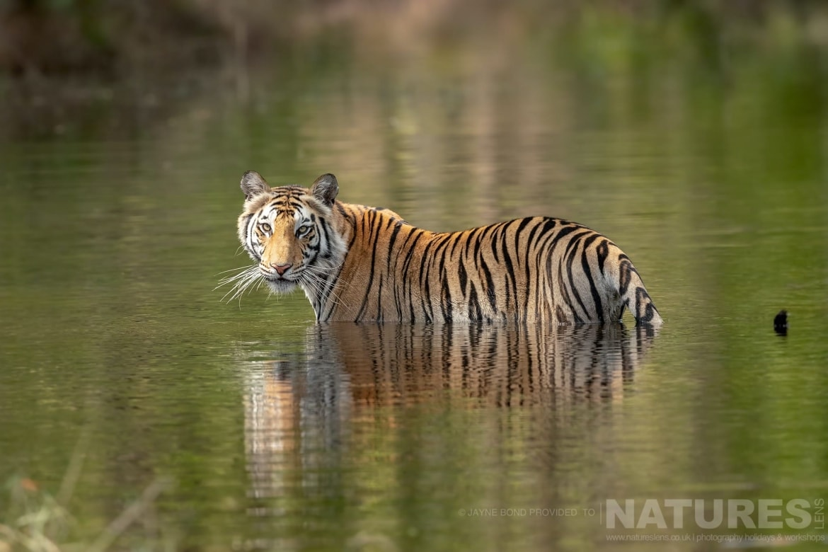 One of Bandhavgarhs tigers cools off in one of the small lakes within the reserve photographed during the NaturesLens India's Bengal Tigers of Bandhavgarh Photography Holiday
