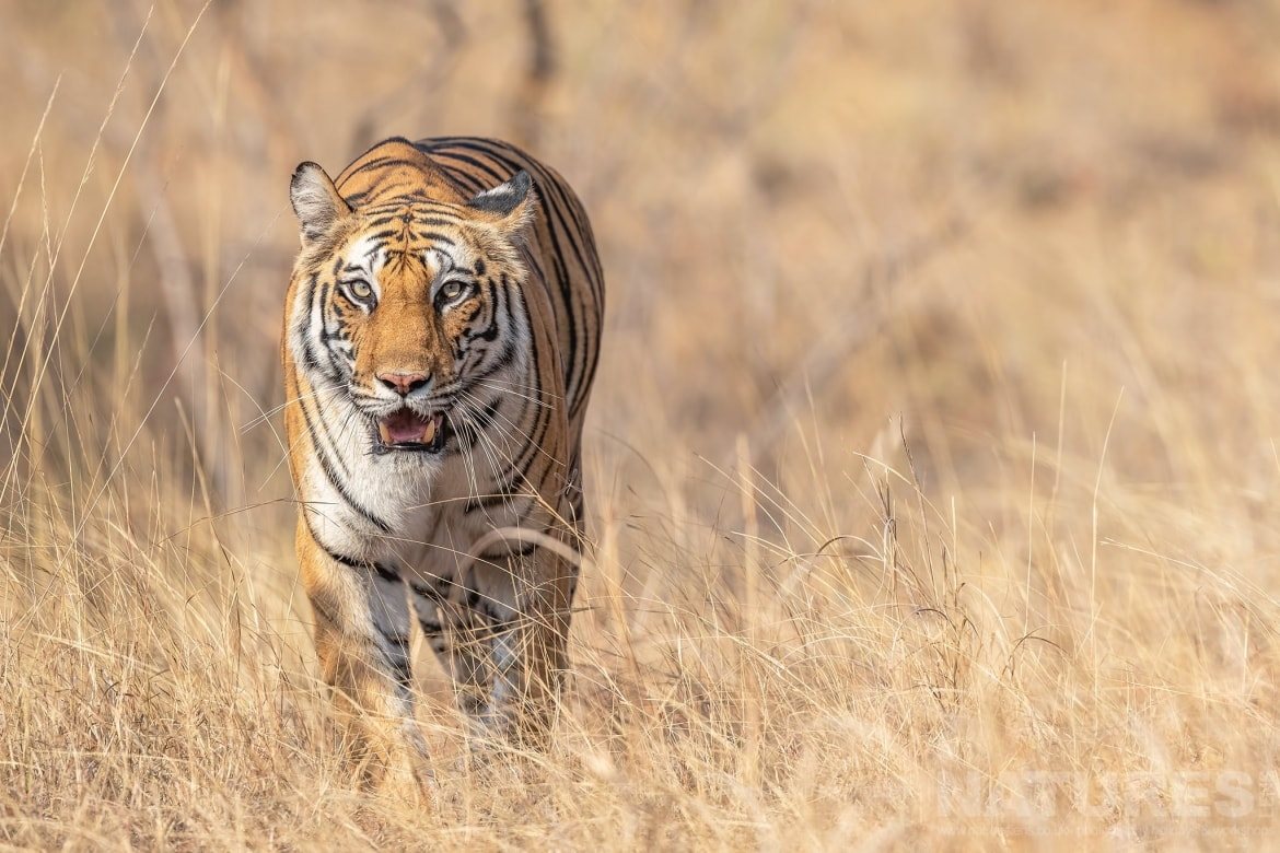 One of Bandhavgarhs tigers emerges from the golden grass of the reserve photographed during the NaturesLens India's Bengal Tigers of Bandhavgarh Photography Holiday